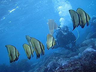 ナンヨウツバメウオの幼魚たち