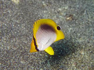 アケボノチョウチョウウオの幼魚