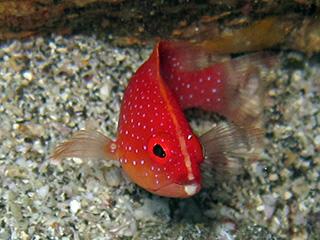 オジロバラハタの幼魚