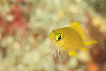 ヒマワリスズメダイの幼魚