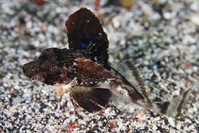 ホウボウの幼魚