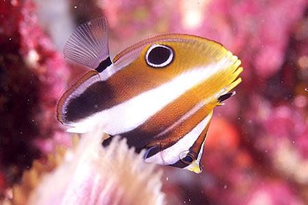 タキゲンロクダイの幼魚