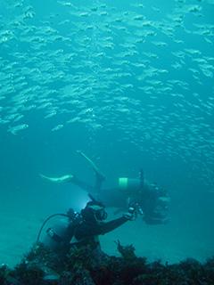 ネンブツダイ幼魚の大群