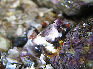コウワンテグリの幼魚