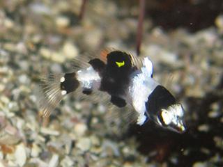 トカラベラの幼魚