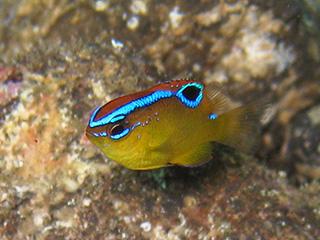 イチモンスズメダイの幼魚