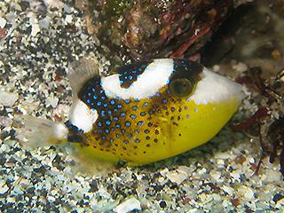 イソモンガラの幼魚
