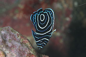 タテジマキンチャクダイの幼魚