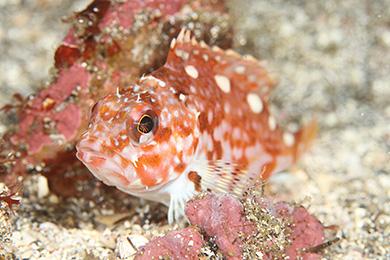 アヤメカサゴ幼魚