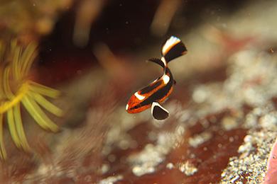 ヒレグロコショウダイの幼魚
