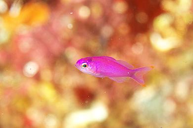 ハナゴイの幼魚