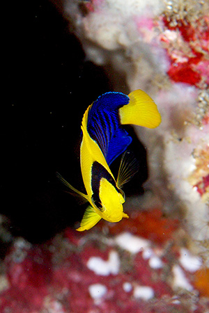 ソメワケヤッコの幼魚