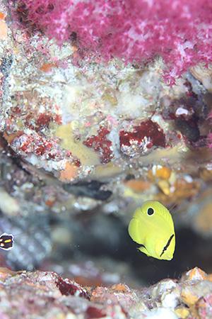 シテンヤッコの幼魚