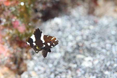 シロブチハタの幼魚