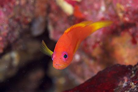 ユカタハタの幼魚