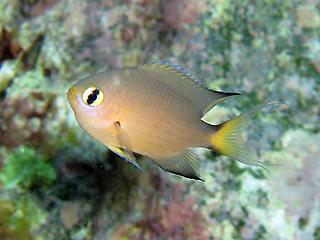 ヒレグロスズメダイの幼魚