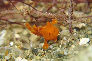イロカエルアンコウの幼魚