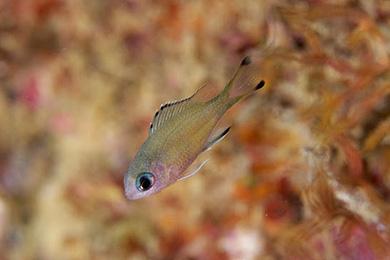 ササスズメダイの幼魚