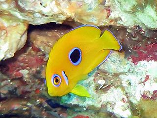 コガネヤッコの幼魚