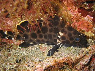 キビレハタの幼魚