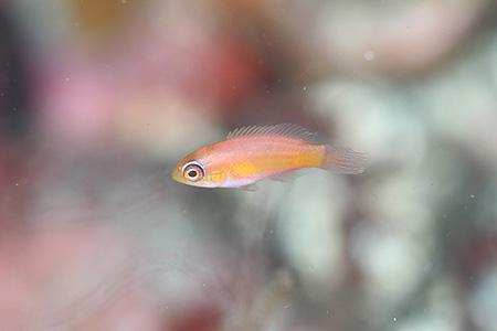 クジャクベラの幼魚